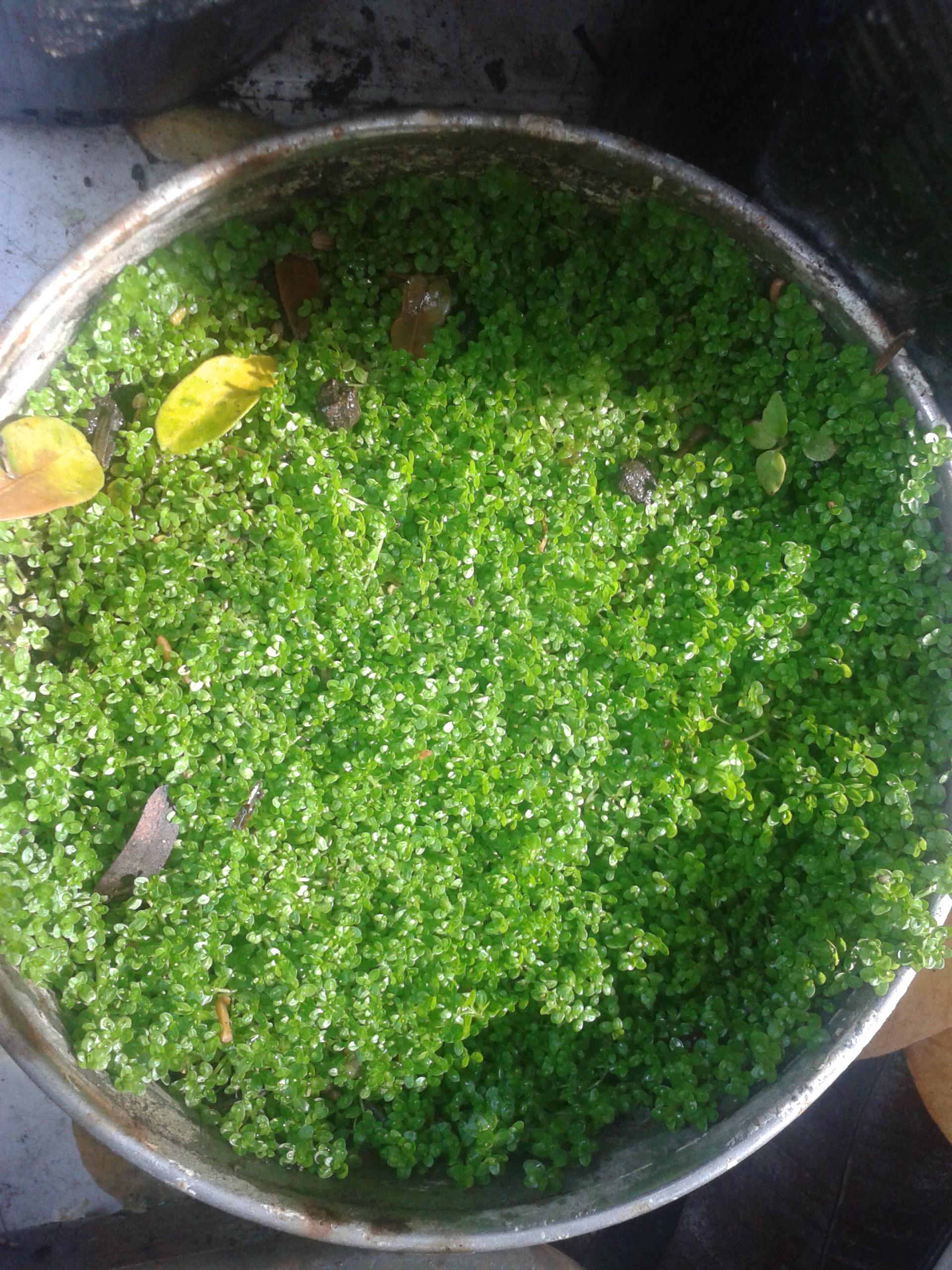 Vegetarian freshwater aquarium fish - Read